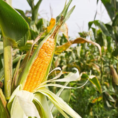 corn_corn